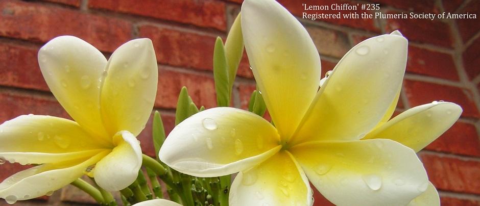 Lemon-Chiffon-Banner